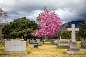 Pink Blossoms at the Cemetery